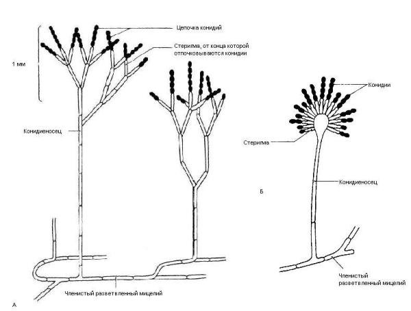 Бесполое размножение у двух типичных представителей Deuteromycota