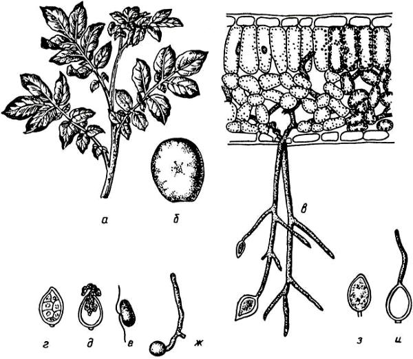Картофельный гриб (Phytophtora infestans)