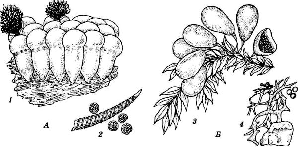 трихия (Trichia) Б – леокарпус (Leocarpus)