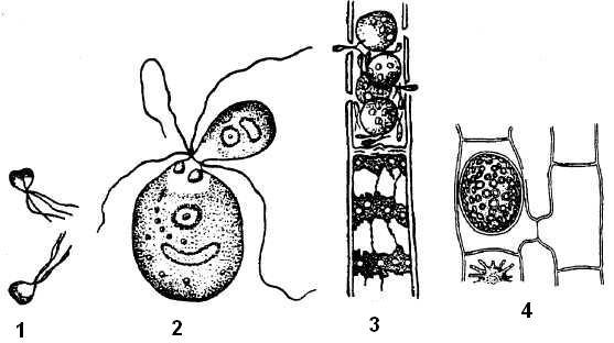Формы полового процесса у водорослей: 1 – изогамия, 2 – гетерогамия, 3 – оогамия, 4 – конъюгация.