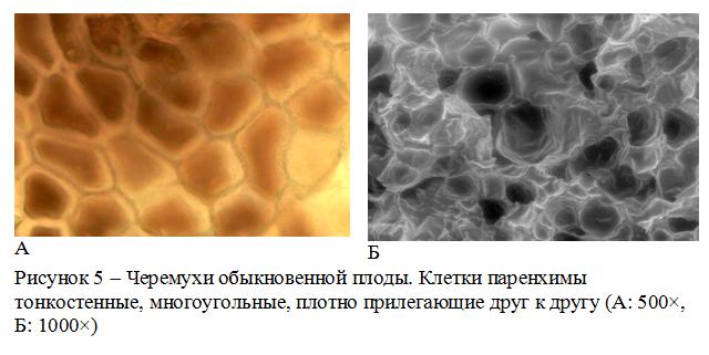 Черемухи обыкновенной плоды микроскопия