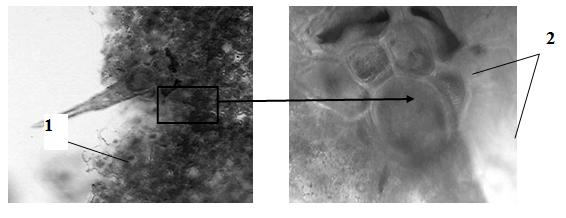 Эхинацеи пурпурной трава. микроскопия