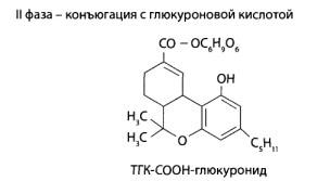 Вторая фаза- конъюгация с глюкуроновой кислотой