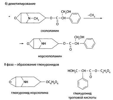 Во II фазе метаболизма метаболиты и скополамин образуют хорошо растворимые глюкурониды.