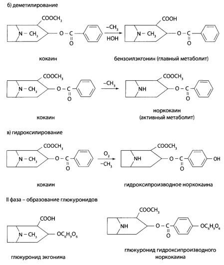 Во II фазе метаболизма образуются глюкурониды - конъюгаты с глюкуроновой кислотой